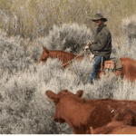 Man on a horse with cattle