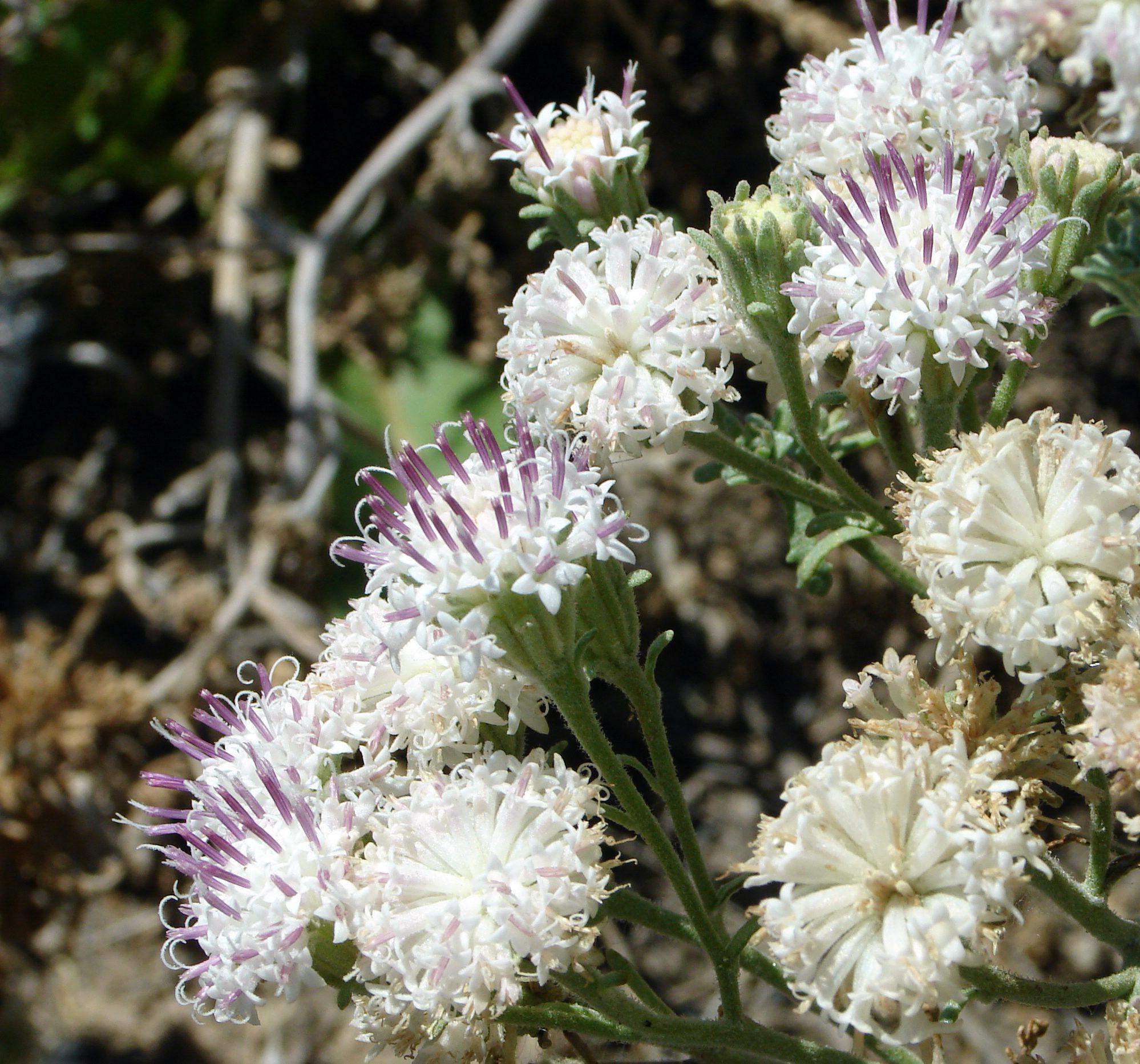 Chaenactis douglasii flowers, not a rare plant