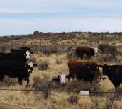 Cows in sagebrush grassland