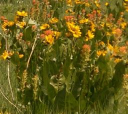 Balsamorhiza with Castilleja
