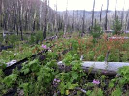 Forest regeneration in burned area