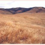 Sea of cheatgrass
