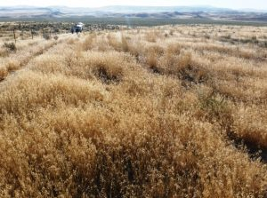 Cheatgrass infestation