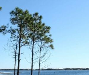 Pine trees on the ocean